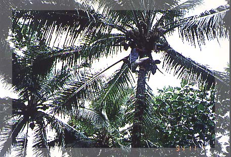 coconut tree research papers The south pacific island nations are collectively one of the major producers and exporters of copra copra and coconut products continue to be an important for the domestic and export markets coconuts are important for household food security and the many uses of coconuts that make them an essential.
